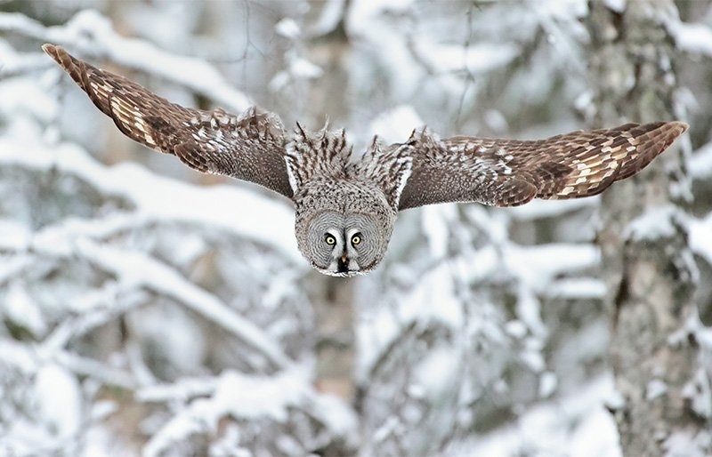 Wings outstretched, a great grey owl swoops through the forest